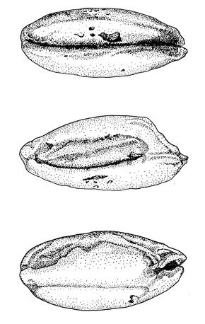 Traditional botanical drawing of prehistoric seeds